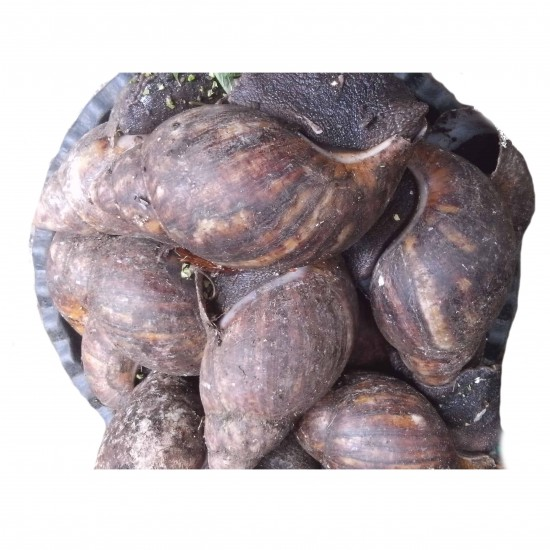 Snail: pack of 10 jumbo pieces