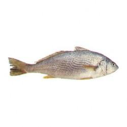 Croaker fish (frozen) 1 kg