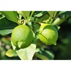 Lemon (pack of 3)
