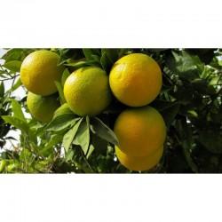 Oranges: pack of 12